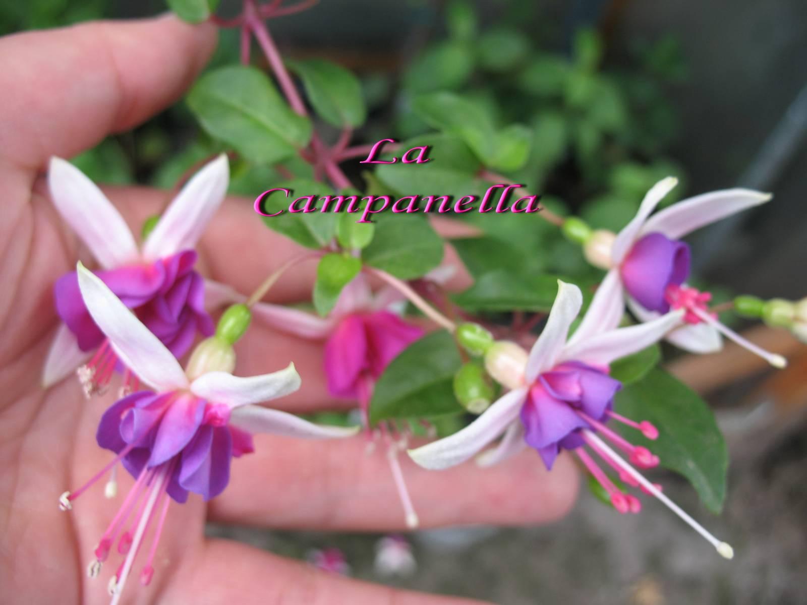 Кампанелла цветок уход фото